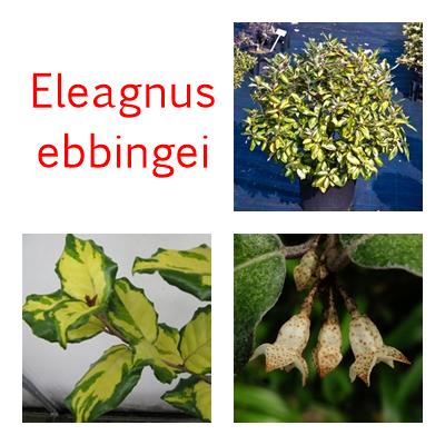 Eleagnus ebbingei